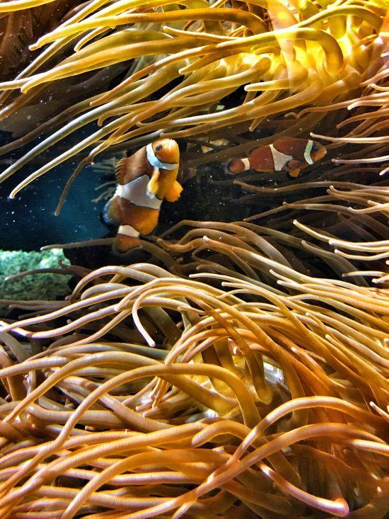 Underwater Yellow Freshness UnderSea Swimming Nature Beauty In Nature Vibrant Color Sea Underwater Photography Underwater World TakeoverContrast Aquarium Clown Fish Clownfish EyeEm Best Edits Maximum Closeness