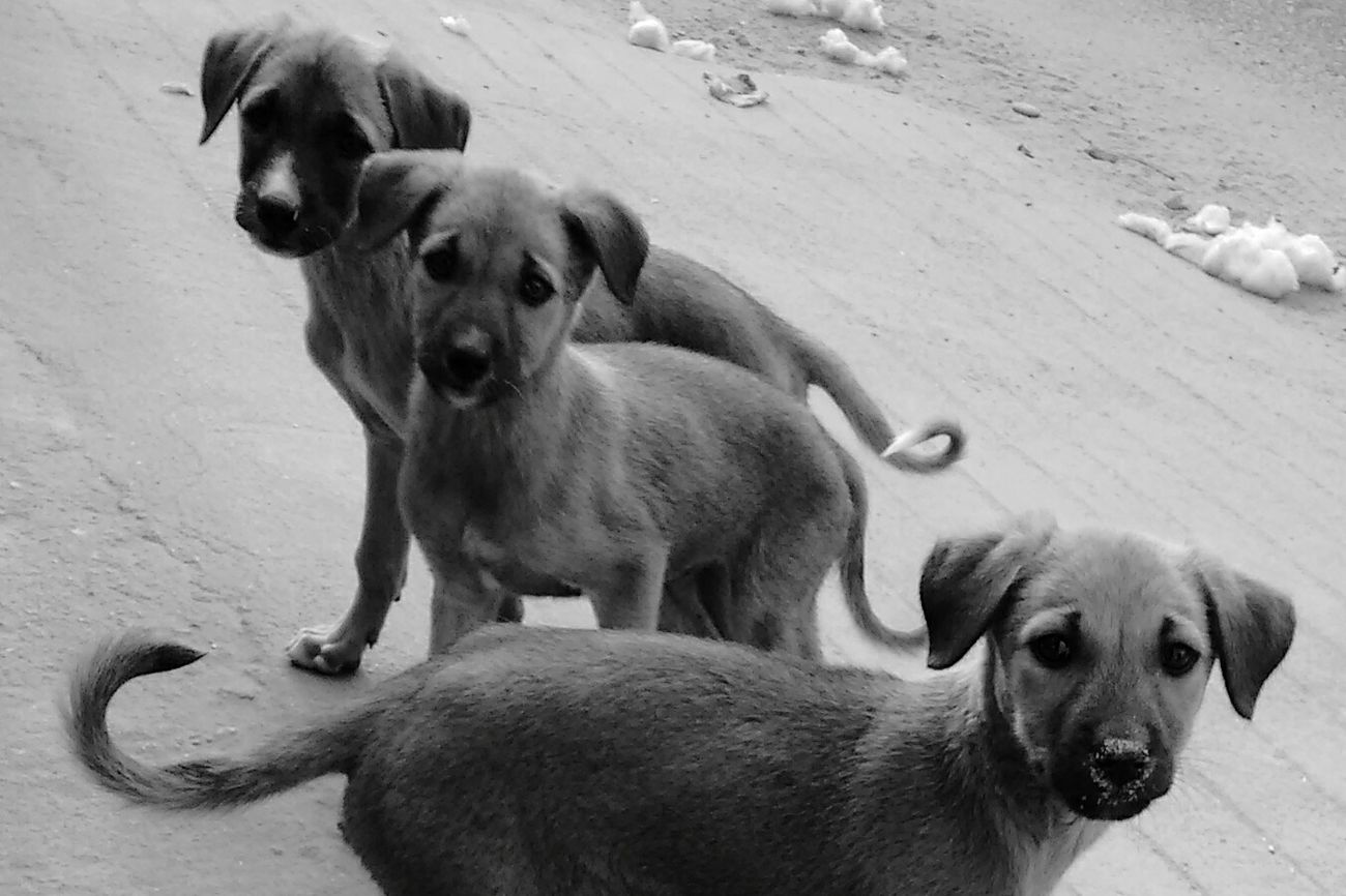 Puppies Black And White Jaipur India Dogs Animals Animal Portrait Animal Posing No People Mobilephotography Eye4photography  On The Road B_w Collection Black And White Collection  Blackandwhite Blackandwhite Photography