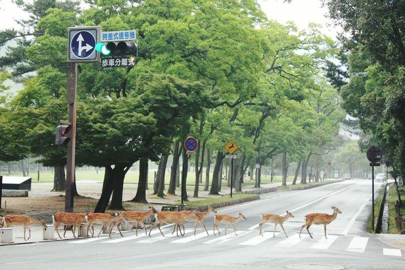 Daim Japan Streetphotography Eye4photography  EyeEm Best Shots EyeEm Nature Lover Faon Nara Nara,Japan
