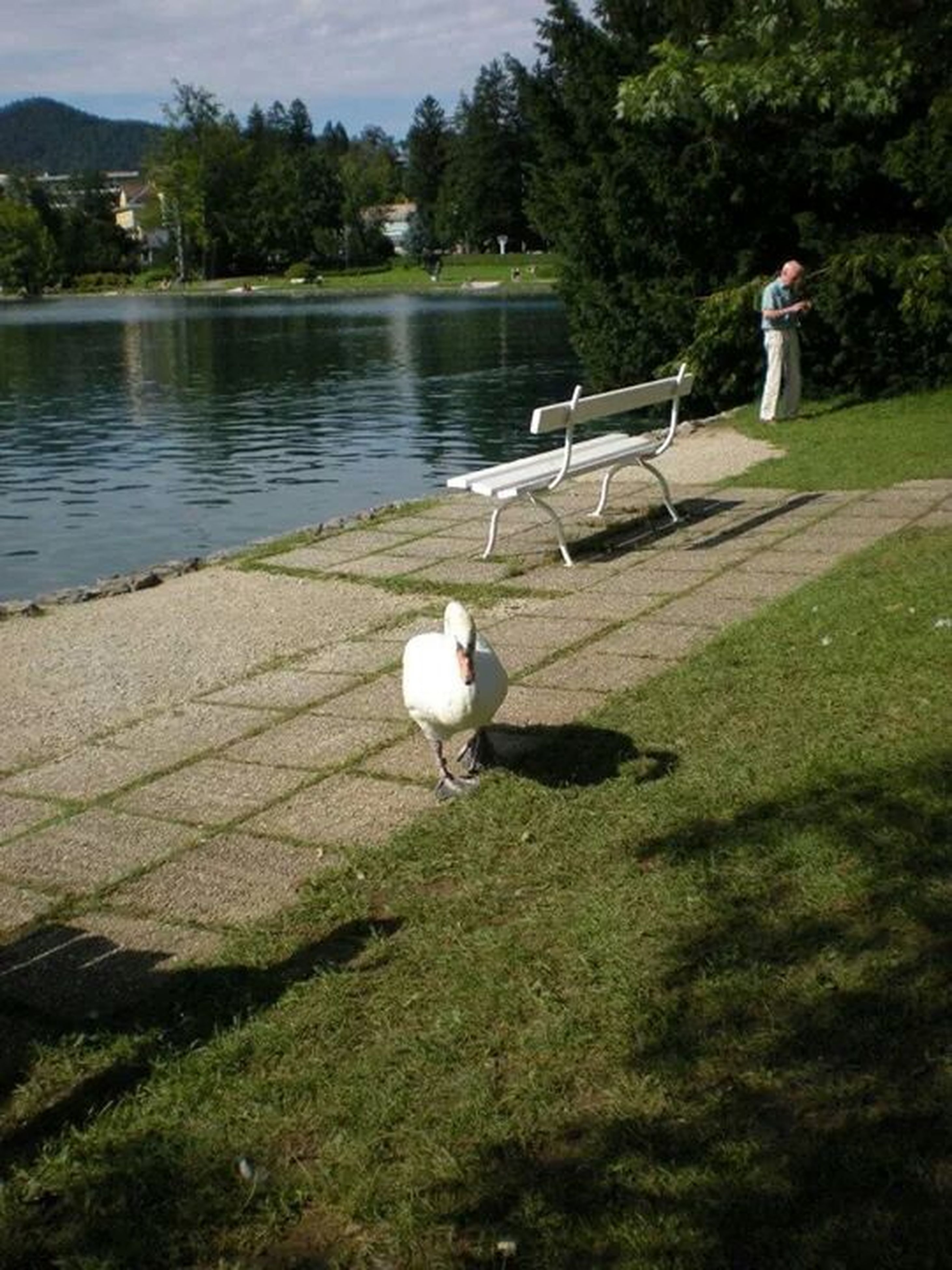 bird, water, lake, grass, full length, swan, animal themes, rear view, tree, nature, wildlife, animals in the wild, tranquility, outdoors, river, one animal, day, standing