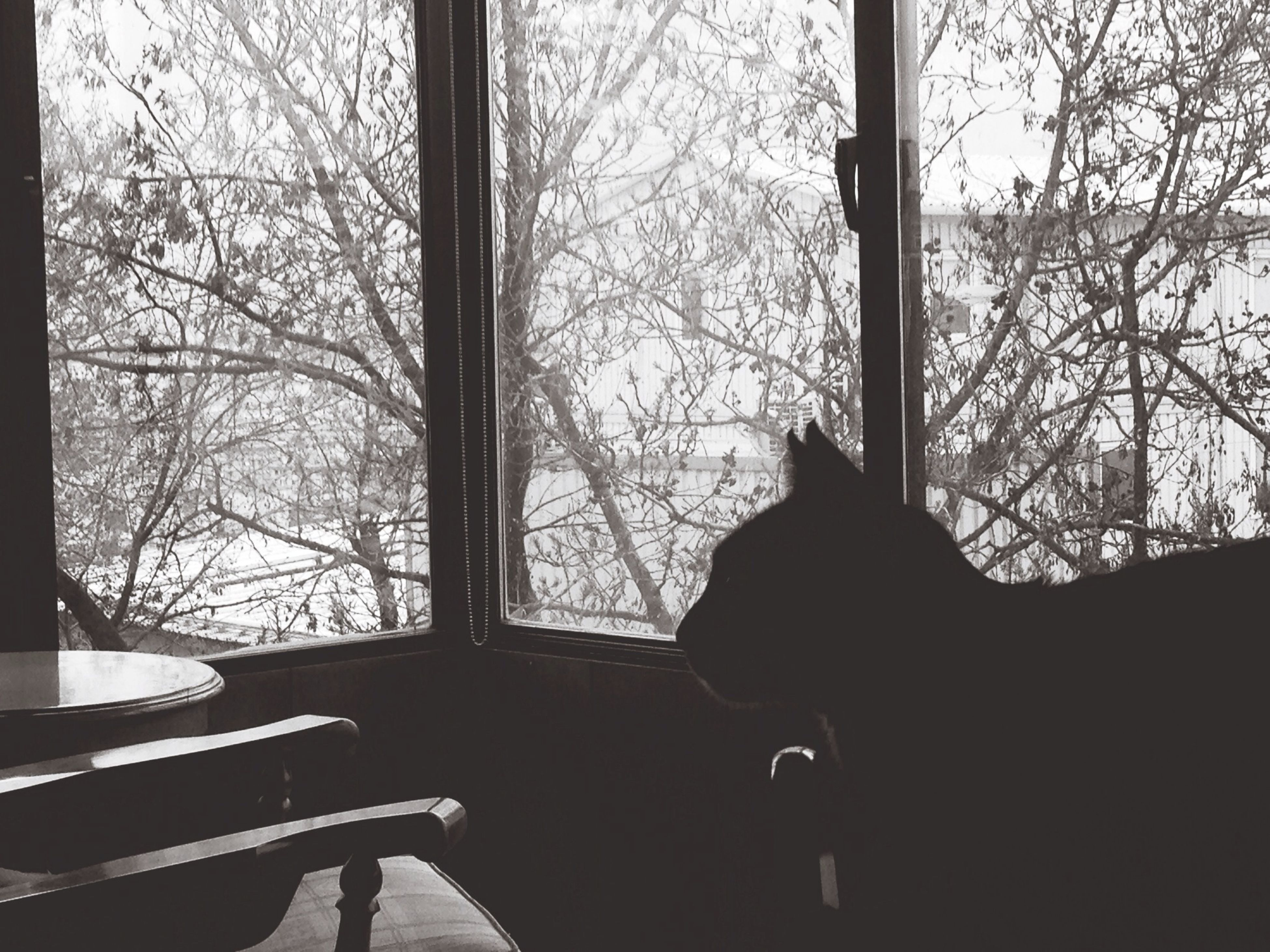 indoors, window, pets, domestic animals, one animal, animal themes, mammal, domestic cat, home interior, cat, glass - material, sitting, looking through window, transparent, tree, curtain, relaxation, silhouette, window sill, feline