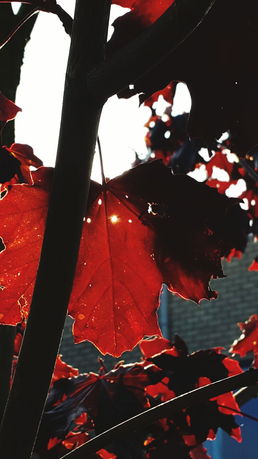 Autumn Autumn Colors Autumn Leaves Herfst...? Herfst Herfstblad Red Sun