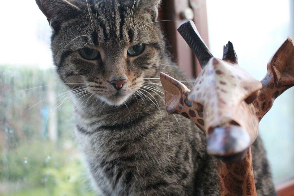 Cat Cats Cats Of EyeEm Cat Beef Pets EyeEm Pets Petsofeyeem Girrafe
