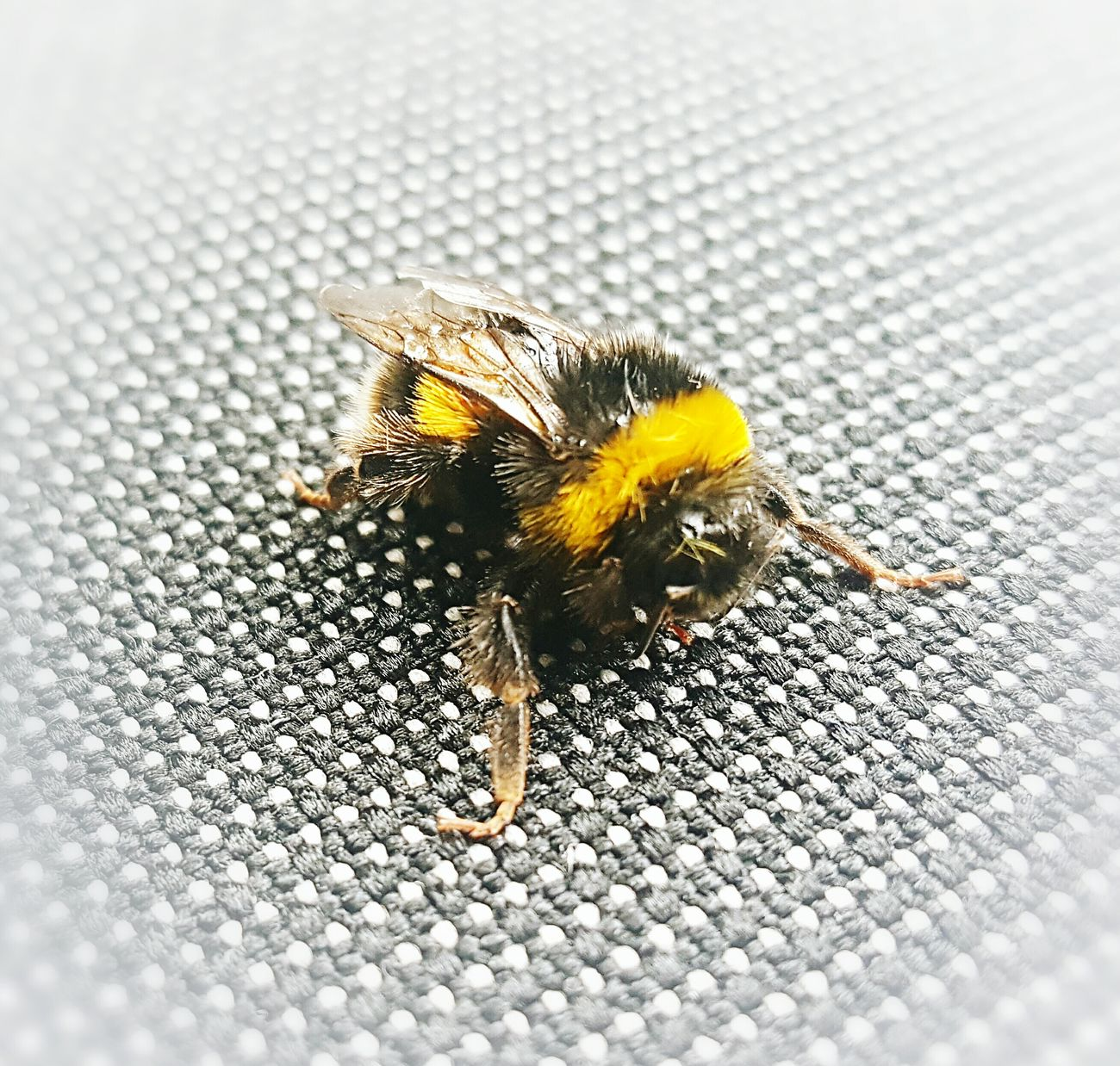 Summer Visitor Blackandyellow Buzzing Bee Bumble Bee Summerishere Samsung Galaxy S6