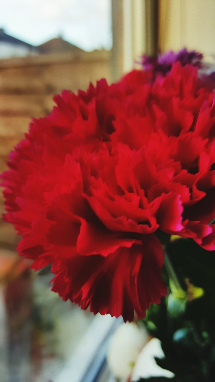 flower, nature, red, beauty in nature, growth, no people, close-up, flower head
