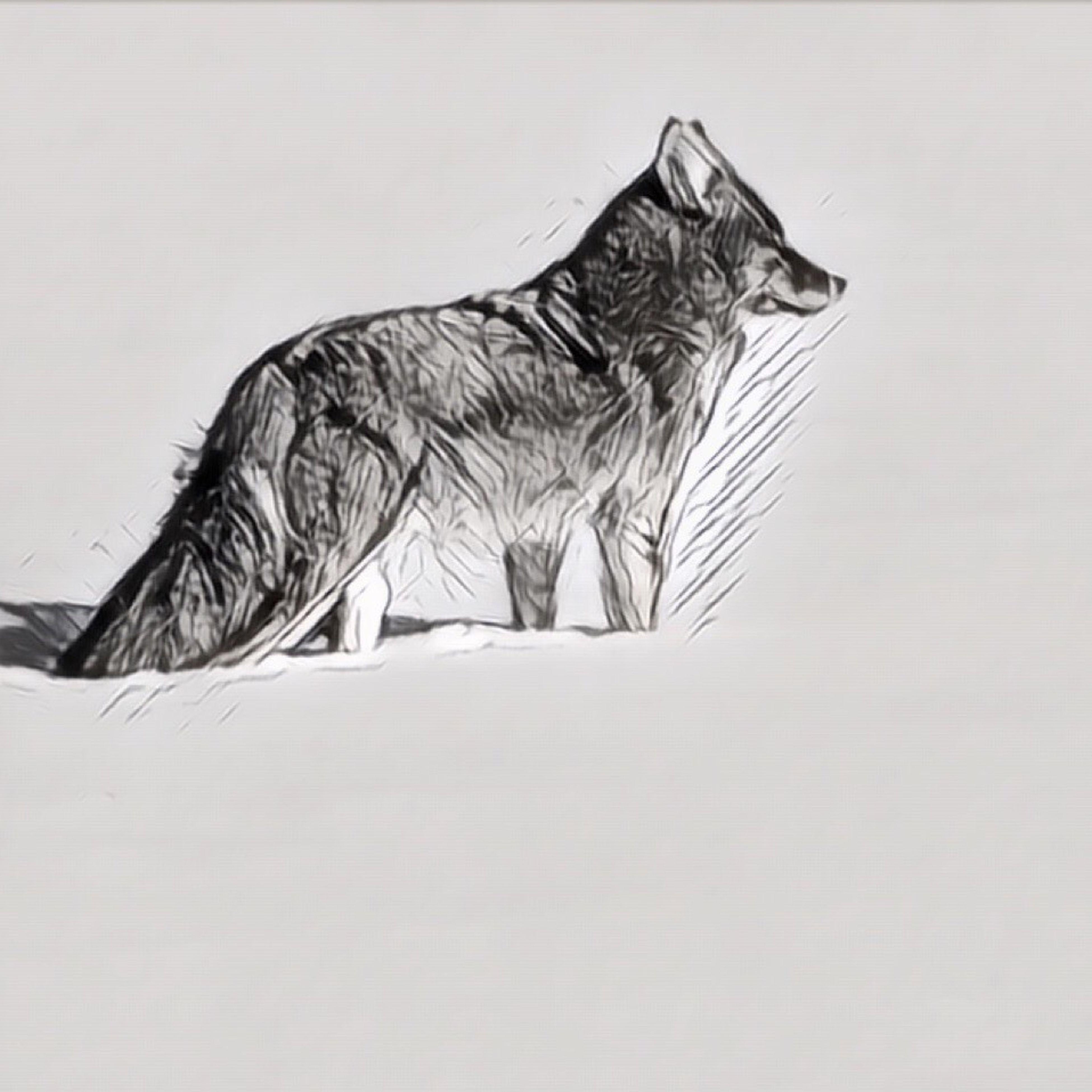 Yellowstone fox Animals In The Wild