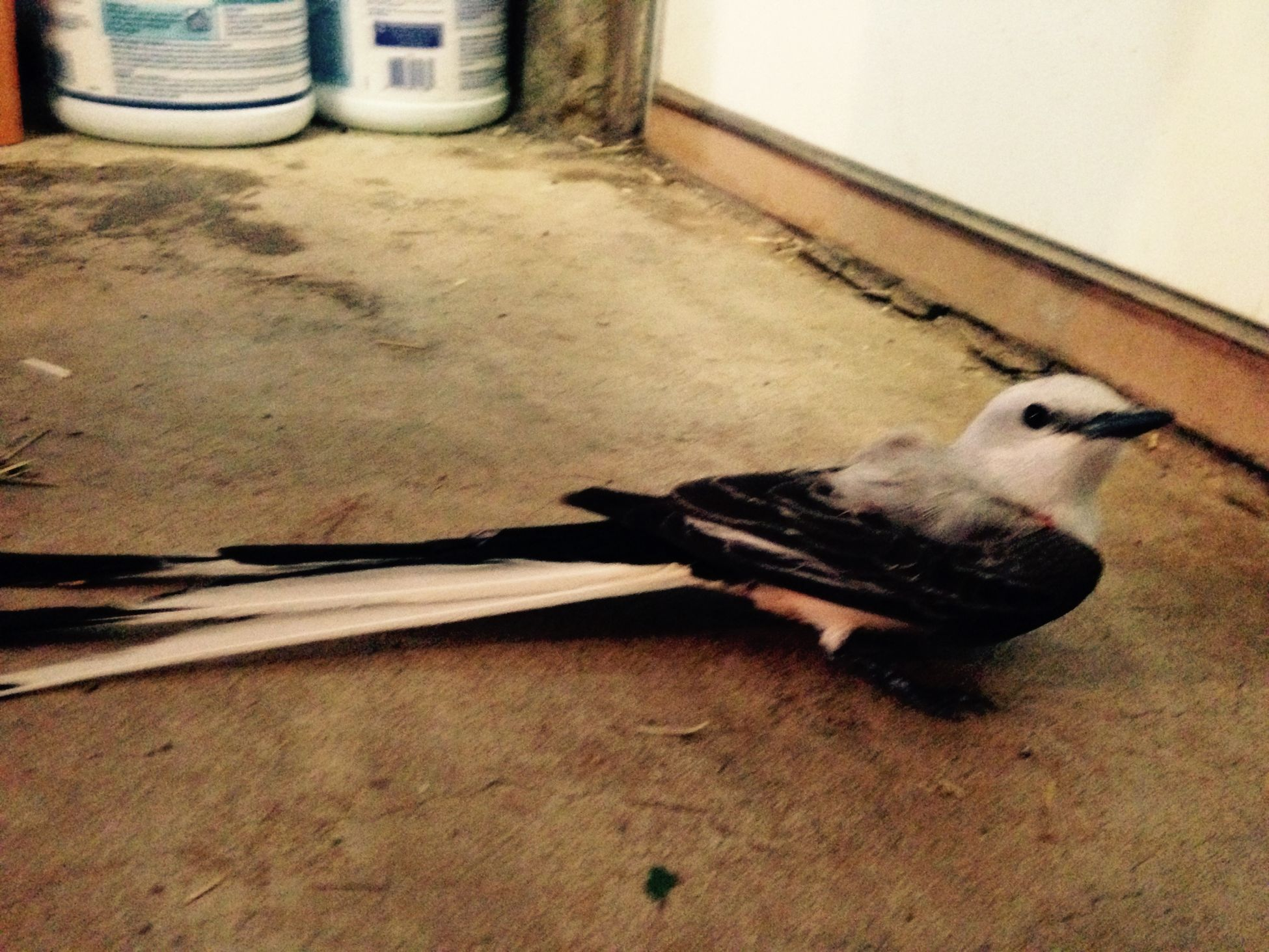 This little guy was caught in my friends car grille. I got him out and to him to a wildlife rehab center. Scissor-tailed Flycatcher Freedom