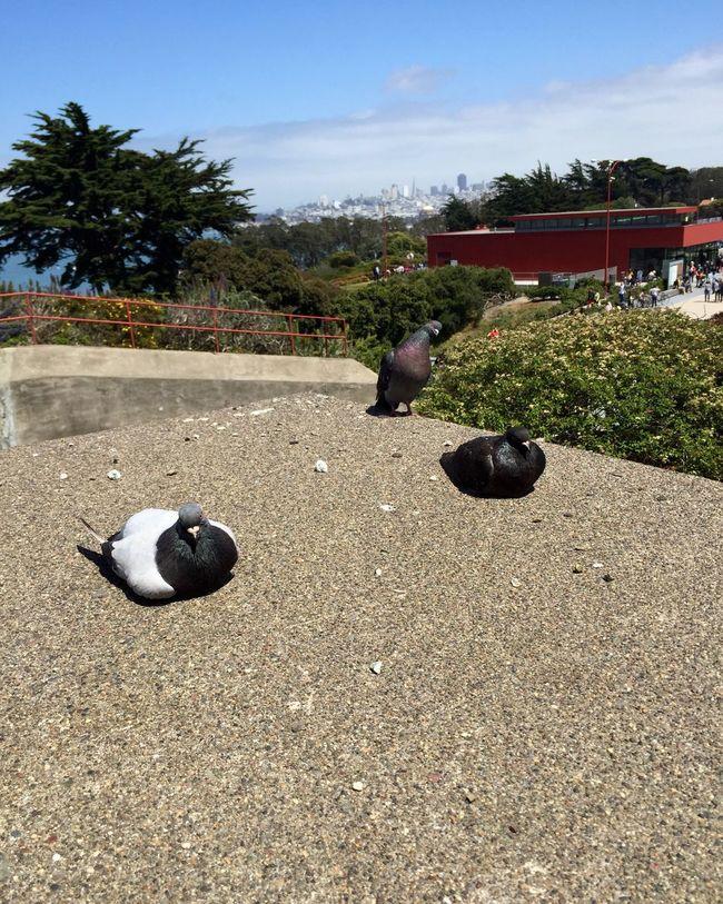 San Francisco Fat Bird Golden Gate Bridge