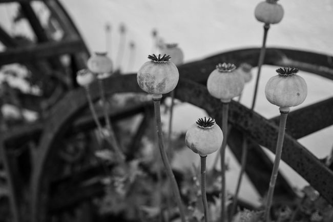 Plant Nature Flower No People Growth Beauty In Nature Outdoors Close-up Leaf Fragility Day Flower Head Freshness EyeEm Best Shots EyeEm Nature Lover Poppy Flowers Blackandwhite
