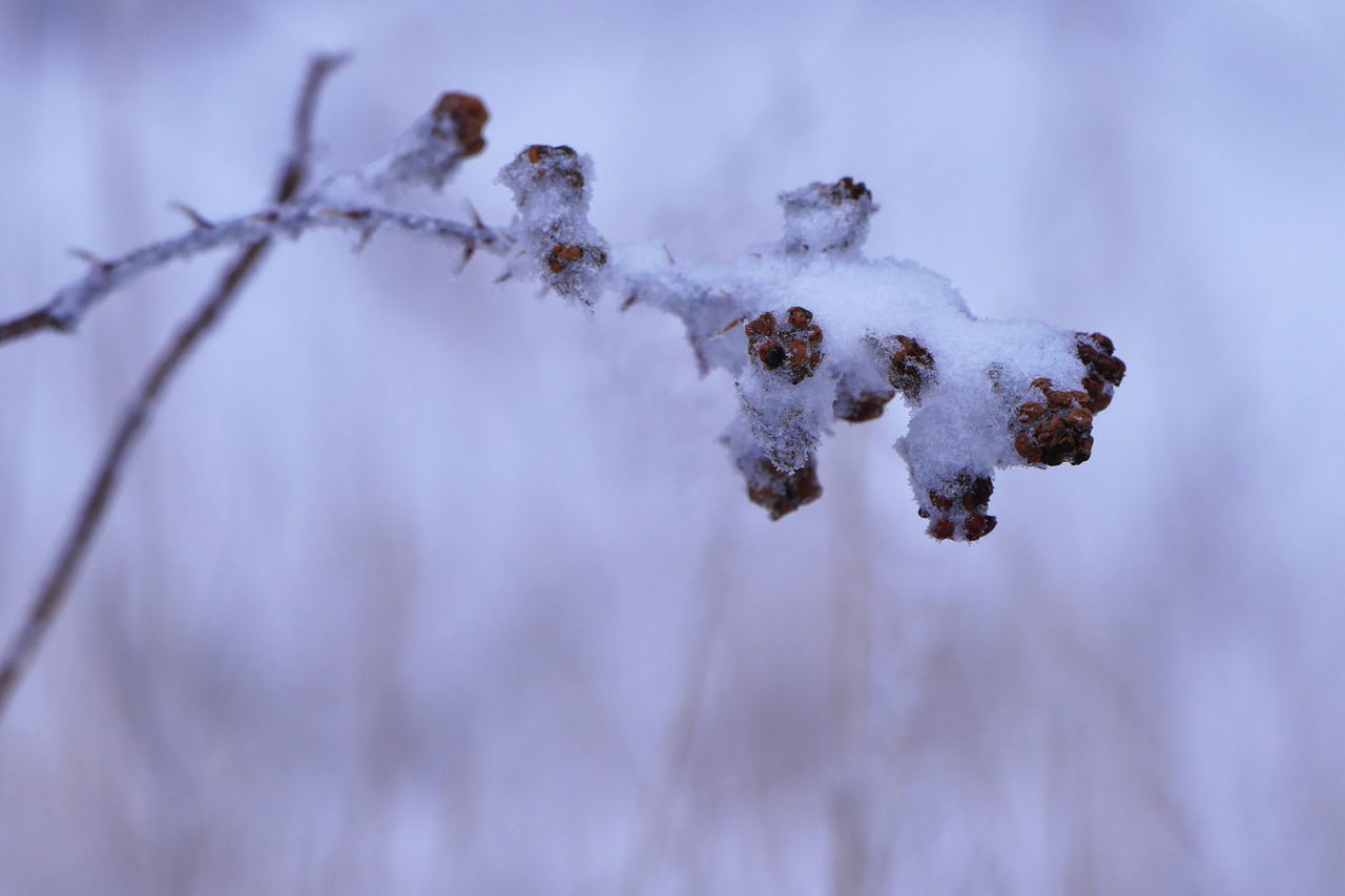 Snow berries Winter Tree Nature Branch No People Snow Outdoors Day Macro Berries Berry Field Sunset Close-up Macro Photography Berrys Snowing Ice