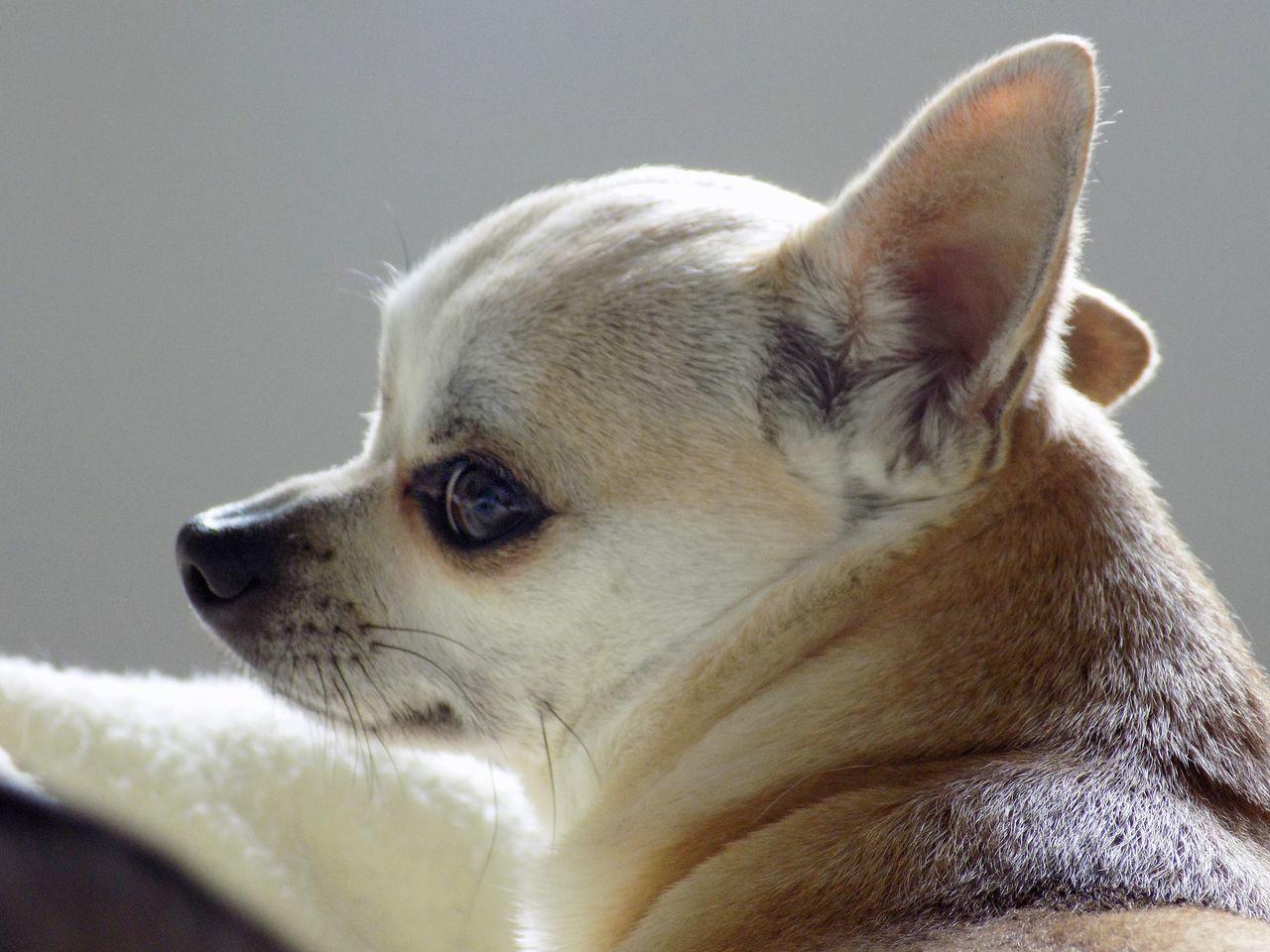 Beautiful stock photos of chihuahua, Animal Themes, Chihuahua - Dog, Close-Up, Dog