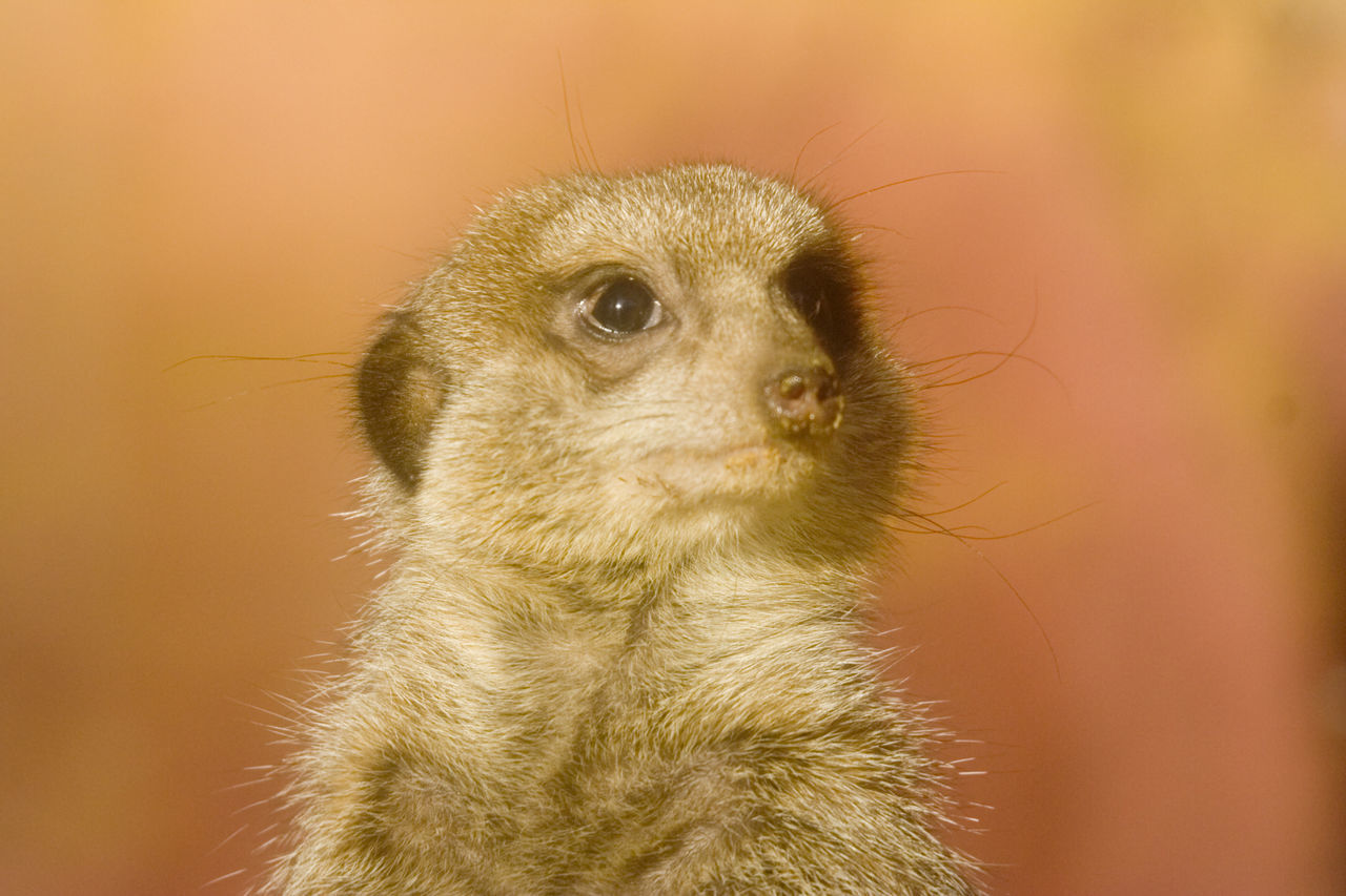 portrait of a cute meerkat - suricata suricatta Africa Alerted Animal Portrait Animal Themes Animal Wildlife Animals In The Wild Close-up Curiosity Cute Endangered Species Front View Mammal Meerkat Mongoose Monkey Nature No People One Animal Outdoors Portrait South Africa Suricata Suricata Suricatta Wild Wildlife
