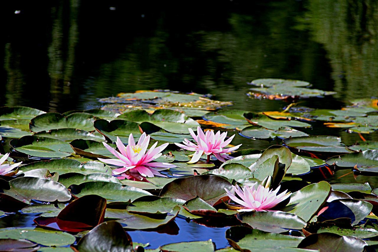 Kiss of Lily. Water Lily Flower Water Beauty In Nature Floating On Water Nature Simplicity Plant Leaf Watermylove Berlin Gärten Der Welt Marzahn