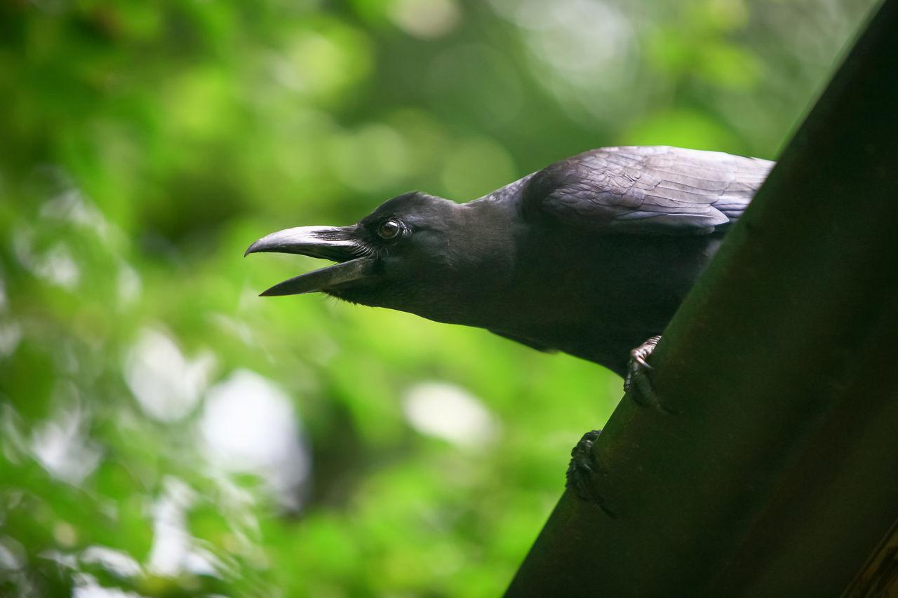 Black crow Bokeh Light Plumage Sitting Background Bird Black Brachyrhynchos Caw Claw Closeup Corvid Crow Dark Darkness Green Looking Open Tree Wildlife Wings