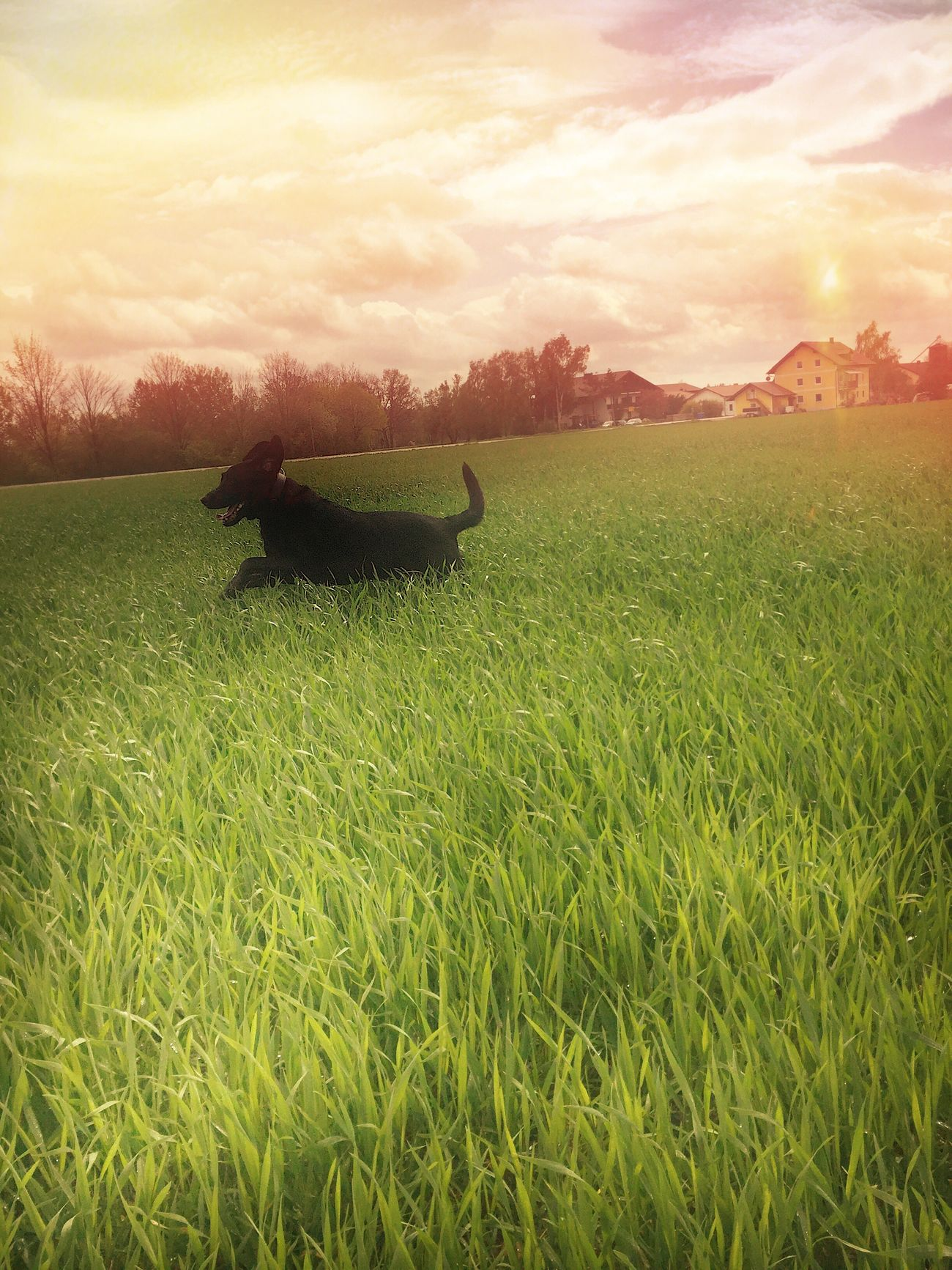 Green Color Grass Beauty In Nature Nature Animal Themes Labrador Outdoors Lovethisdog First Eyeem Photo Sunset No People