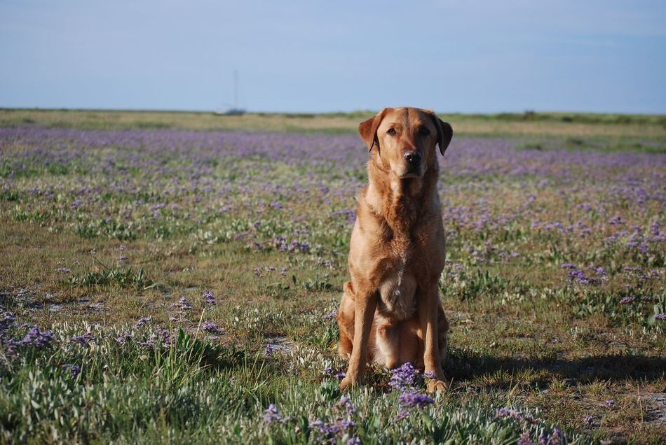 Bonzo @bonzosworld Instagram Field One Animal Animal Themes Domestic Animals Dog Pets Growth Mammal Nature Grass No People Outdoors Flower Plant Landscape Sky Day Beauty In Nature Lab Red Labrador