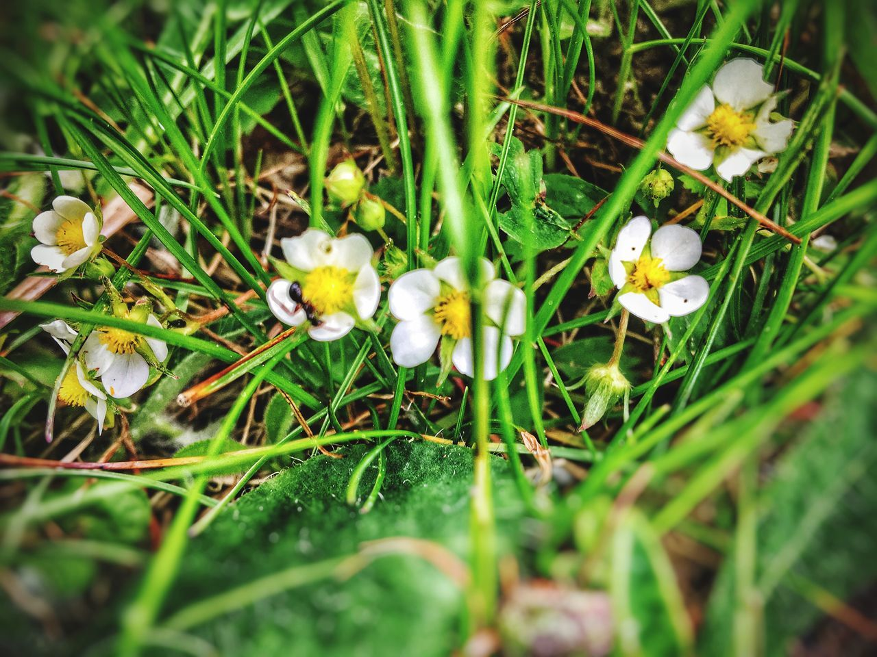 flower, nature, growth, fragility, beauty in nature, freshness, petal, selective focus, plant, no people, outdoors, day, green color, flower head, close-up, yellow, snowdrop, grass