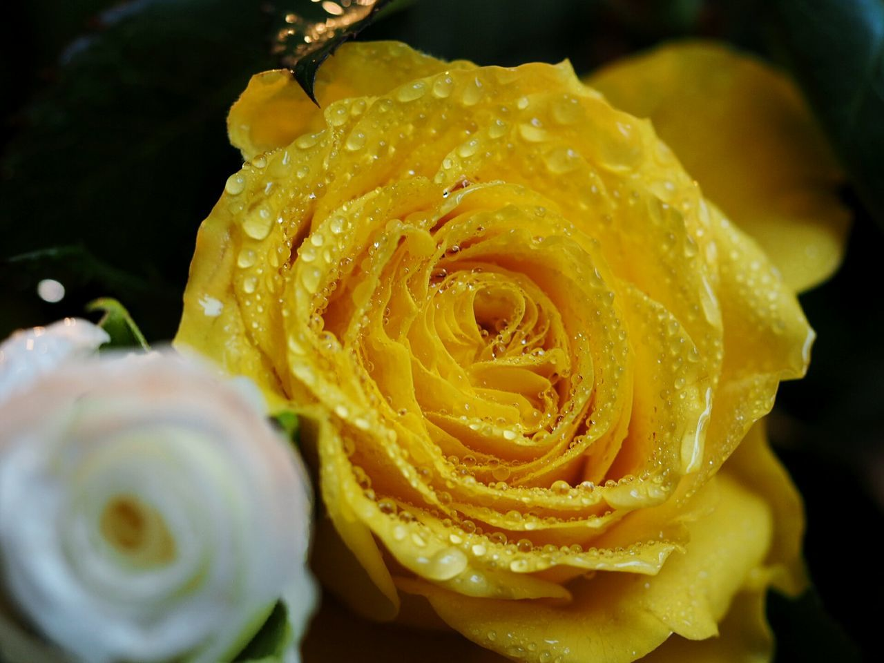 Close-up Flower Nature Water Beauty In Nature Yellow Fragility Freshness Flower Head Beautiful Nature Macro Photography Roses Waterdrops Macro Rose Beauty Blossom Dew Drop Beauty In Nature Nature Freshness Rose - Flower Petal Yellow Rose Yellow Flower