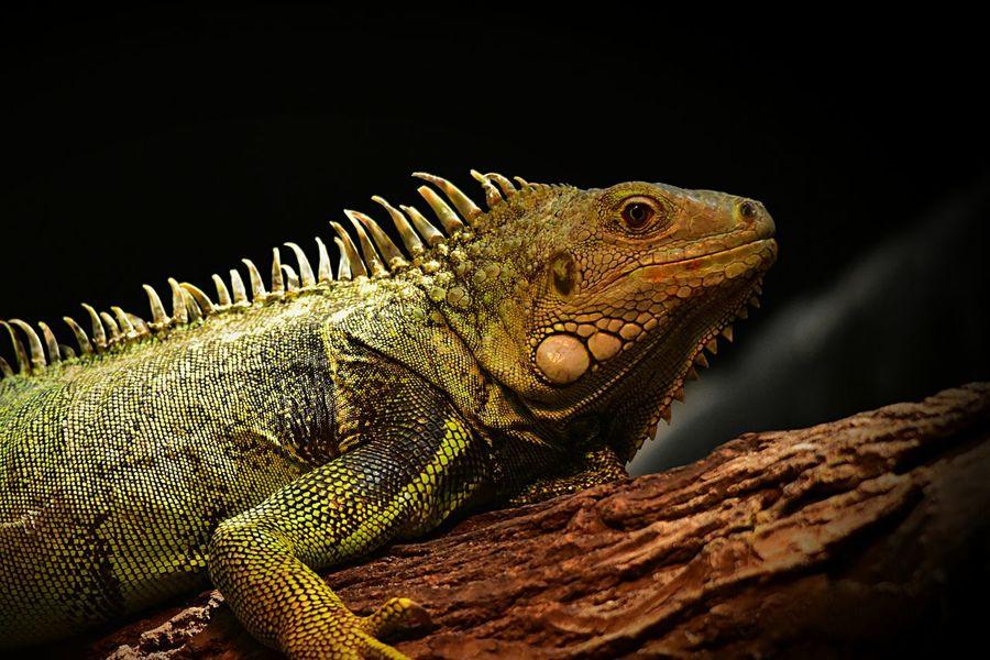 Iguane Iguana Iguanidae Sauriens Animalia Reptilia Squamata Reptile Lizard Lezard Animal Themes One Animal Wood - Material Animal Colors Couleur