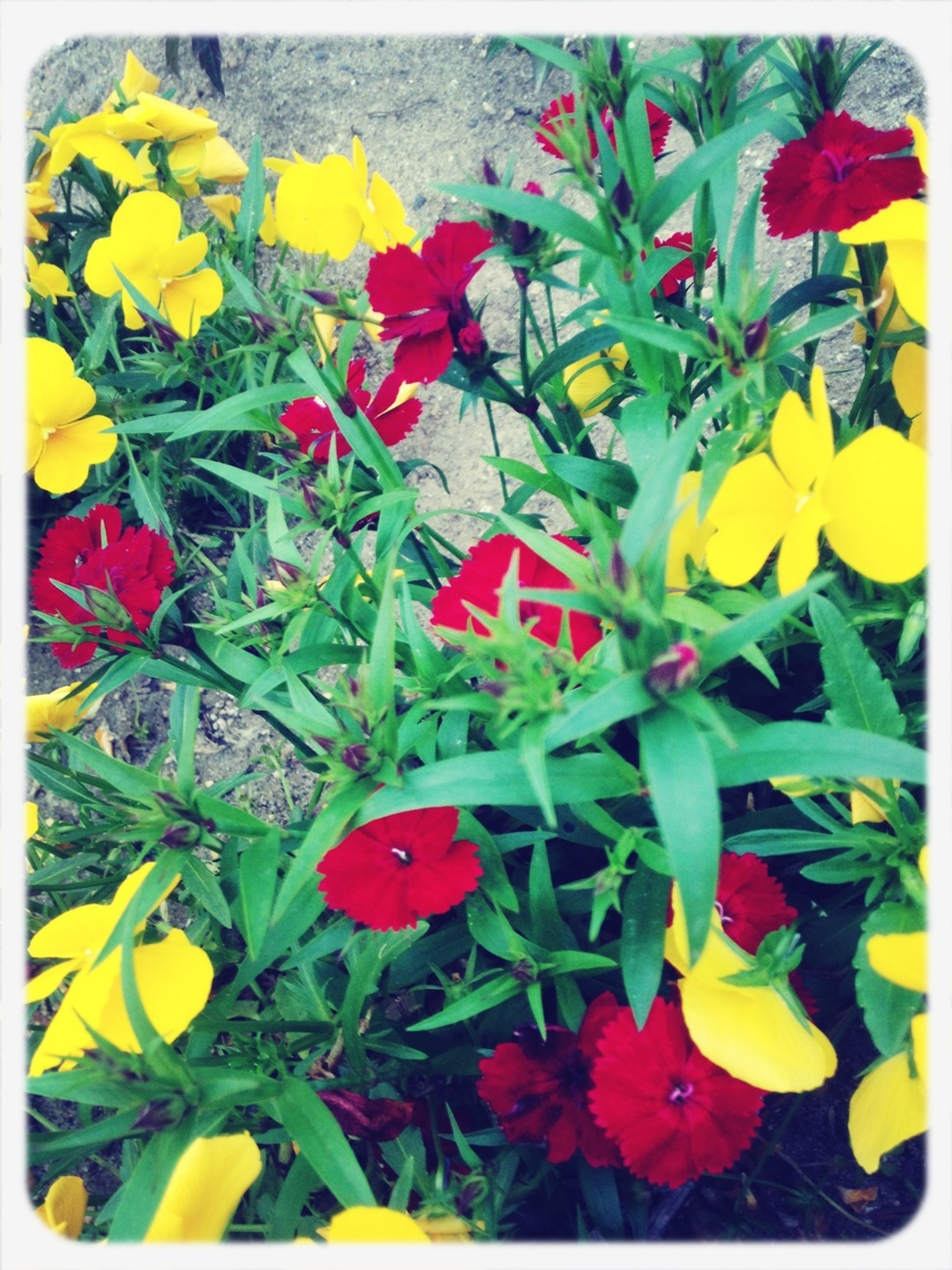 transfer print, flower, auto post production filter, fragility, freshness, yellow, growth, petal, beauty in nature, plant, nature, flower head, leaf, blooming, field, multi colored, high angle view, abundance, day, outdoors
