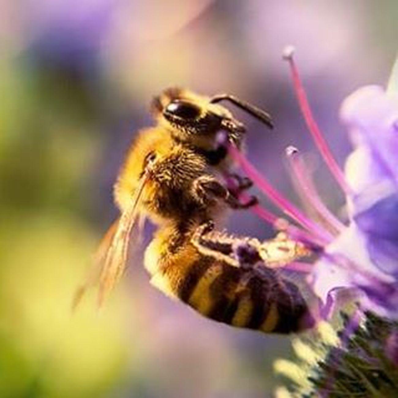 Biene an der Blüte Makros Fotografie Michaellangerfotografie