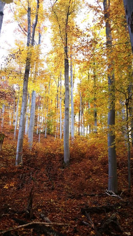 Autumn Colors Autumn A Walk In The Woods Woods Mobile Photography Yellow Buchenwald Waldspaziergang