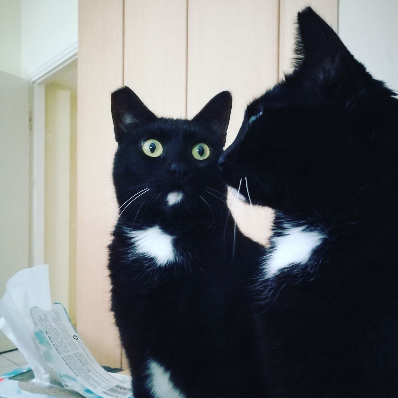 Domestic Cat Blackandwhite Pets Looking At Camera Domestic Animals Indoors  Feline Portrait Yellow Eyes Sitting Close-up Mirror Image Double Trouble