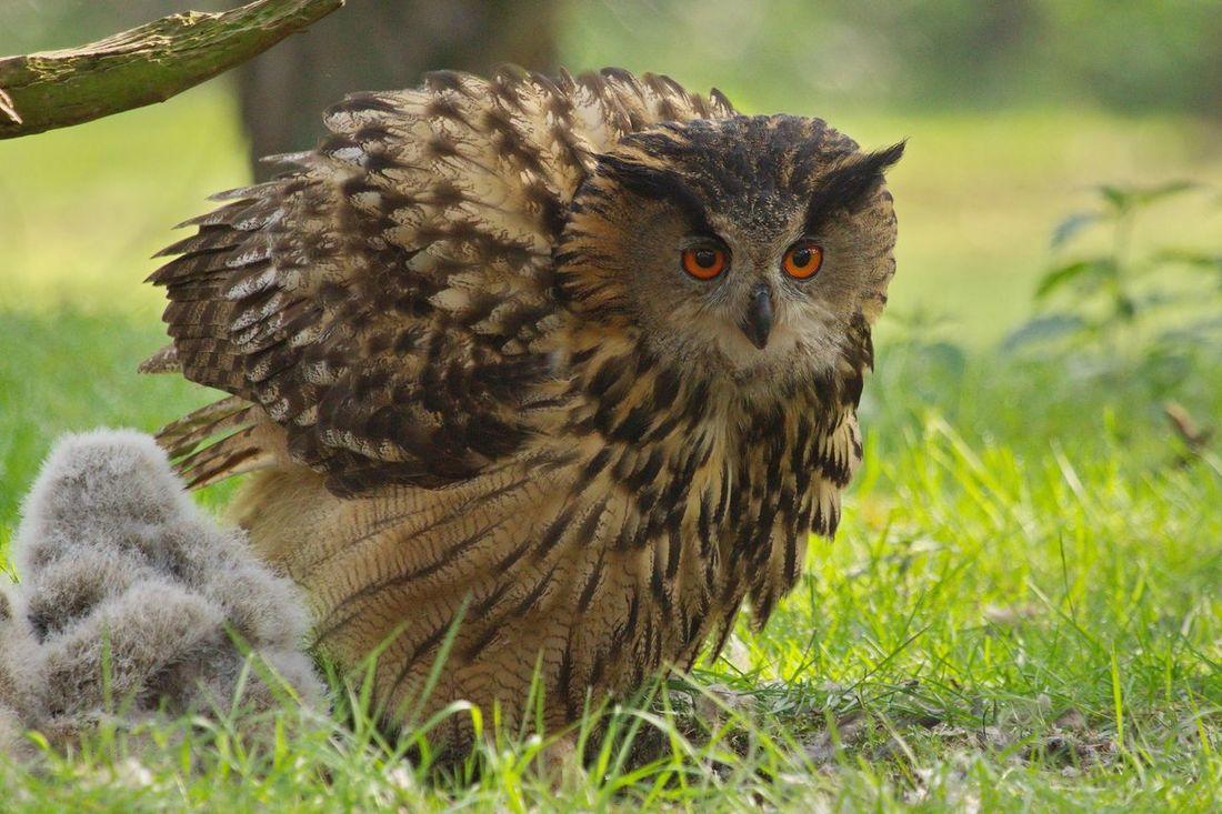 Oehoe Eurasian Eagle Owl
