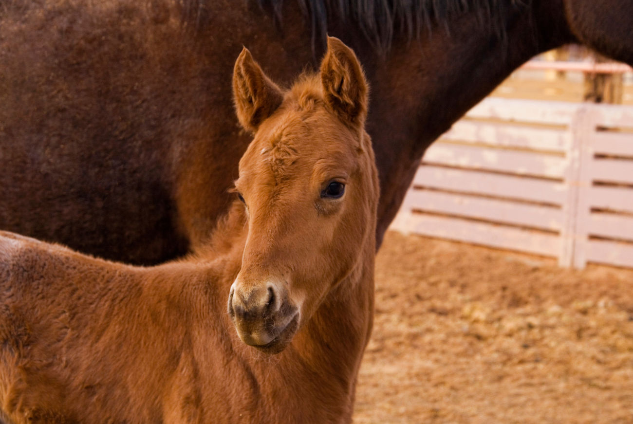So cute Baby Horse Foal Animal Themes Domestic Animals Animal Head  One Animal Horse No People Livestock Hoofed Mammal Portrait Mammal Animal Animal Photography Horse Photography  Horses Baby Animals Baby Cutestbabyever