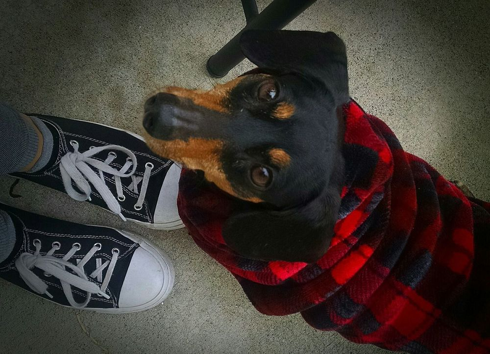 Domestic Animals Pets Dog Day One Animal Doxie Love Dauchshund Abagail <3 Animal Themes Love ♥ Loyalcompanion😘 Little Things Pretty♡ Furbaby Angel Dog❤ Outdoors Doxie Moxie