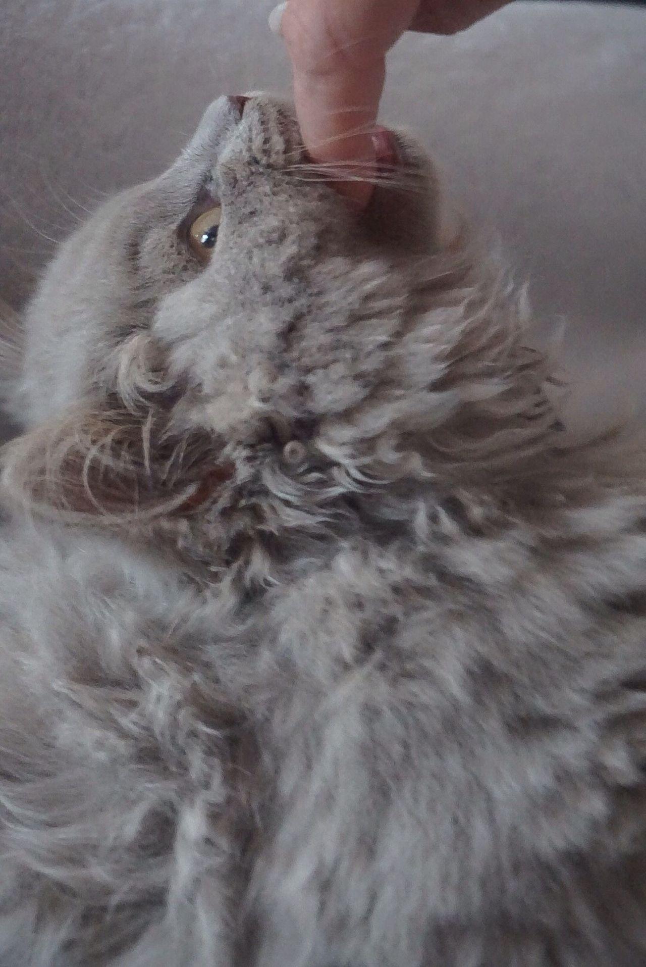 British Longhair Kitten 🐱 Cat Katzenfoto BLH Katzenwäsche