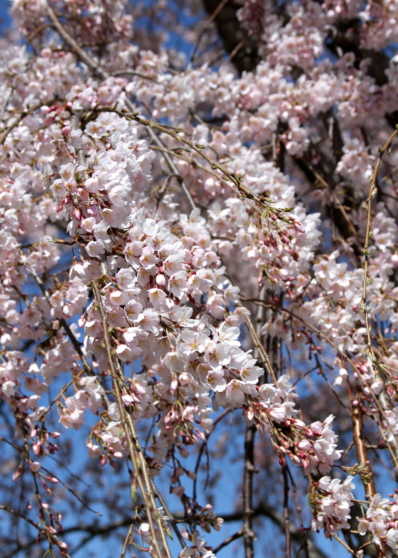 Beauty In Nature Blossom Branch Cherry Blossom Cherry Tree Close-up Day Flower Flower Head Fragility Freshness Growth In Bloom Nature No People Outdoors Pink Color Springtime Sunlight Tree Weeping Cherry Tree