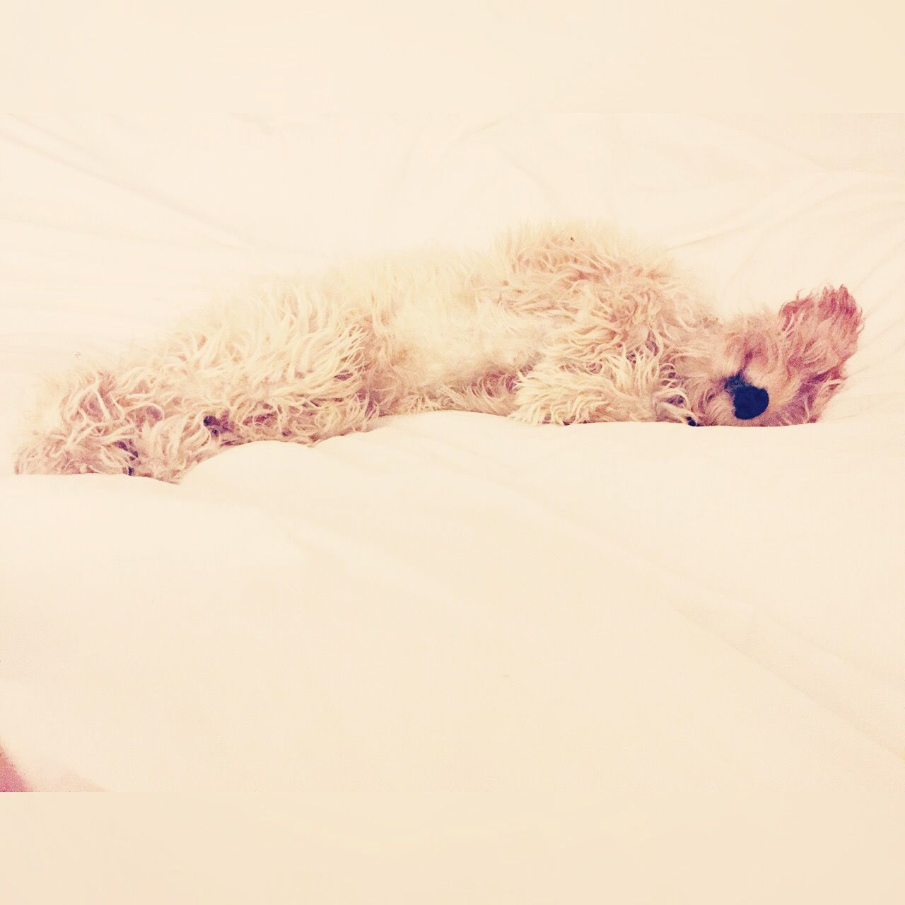 pets, one animal, animal themes, domestic animals, dog, mammal, indoors, relaxation, lying down, no people, bed, close-up, white background, day