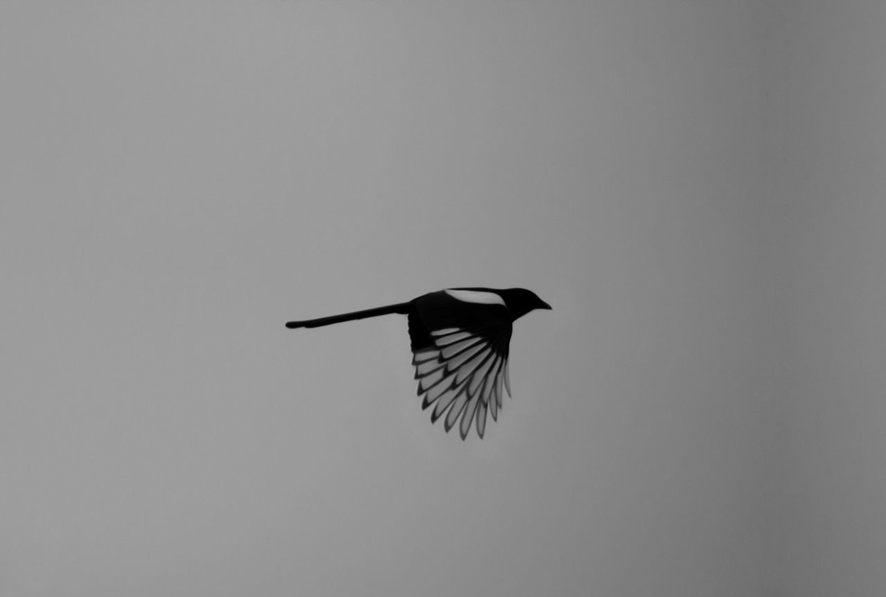Magpie flies away Animal Themes Animal Wildlife Animals In The Wild Bird Bird In Flight Bird Of Prey Bird Photography Birds Of EyeEm  Birds_collection Day Elster EyeEm Birds Flying Low Angle View Magpie Nature No People One Animal Outdoors