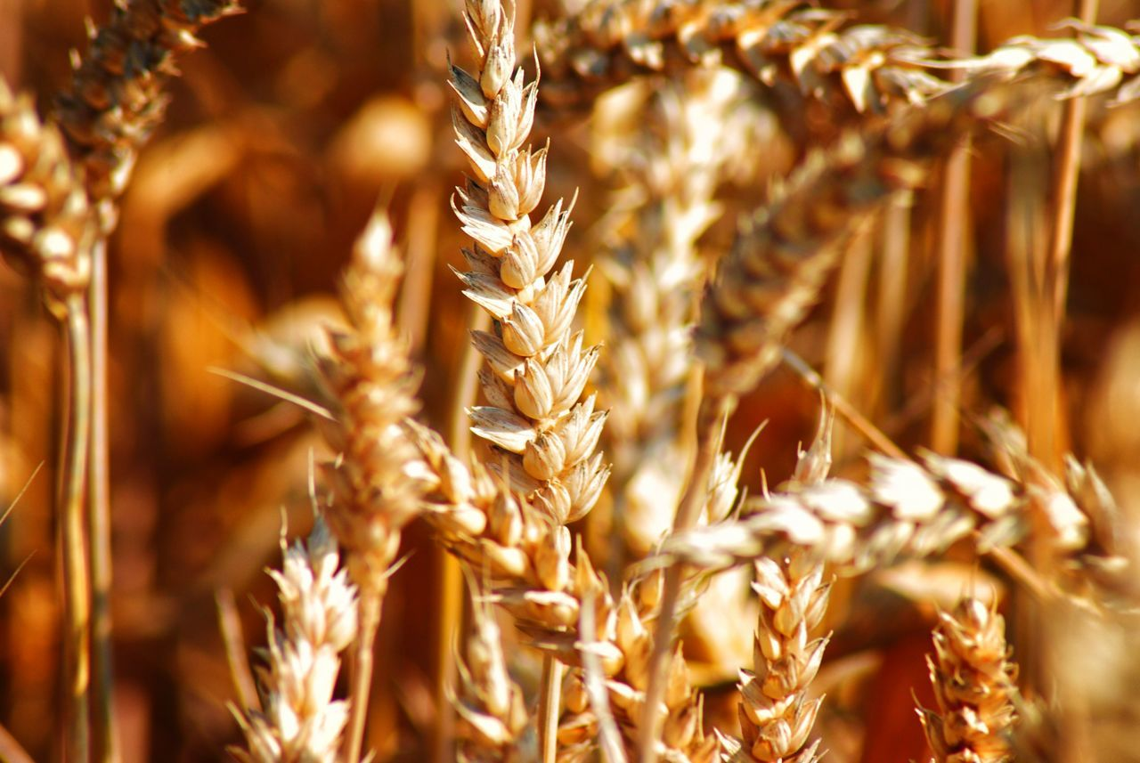 cereal plant, wheat, crop, gold colored, agriculture, plant, plant stem, straw, ear of wheat, growth, rye - grain, no people, wholegrain, field, close-up, nature, food, day, outdoors