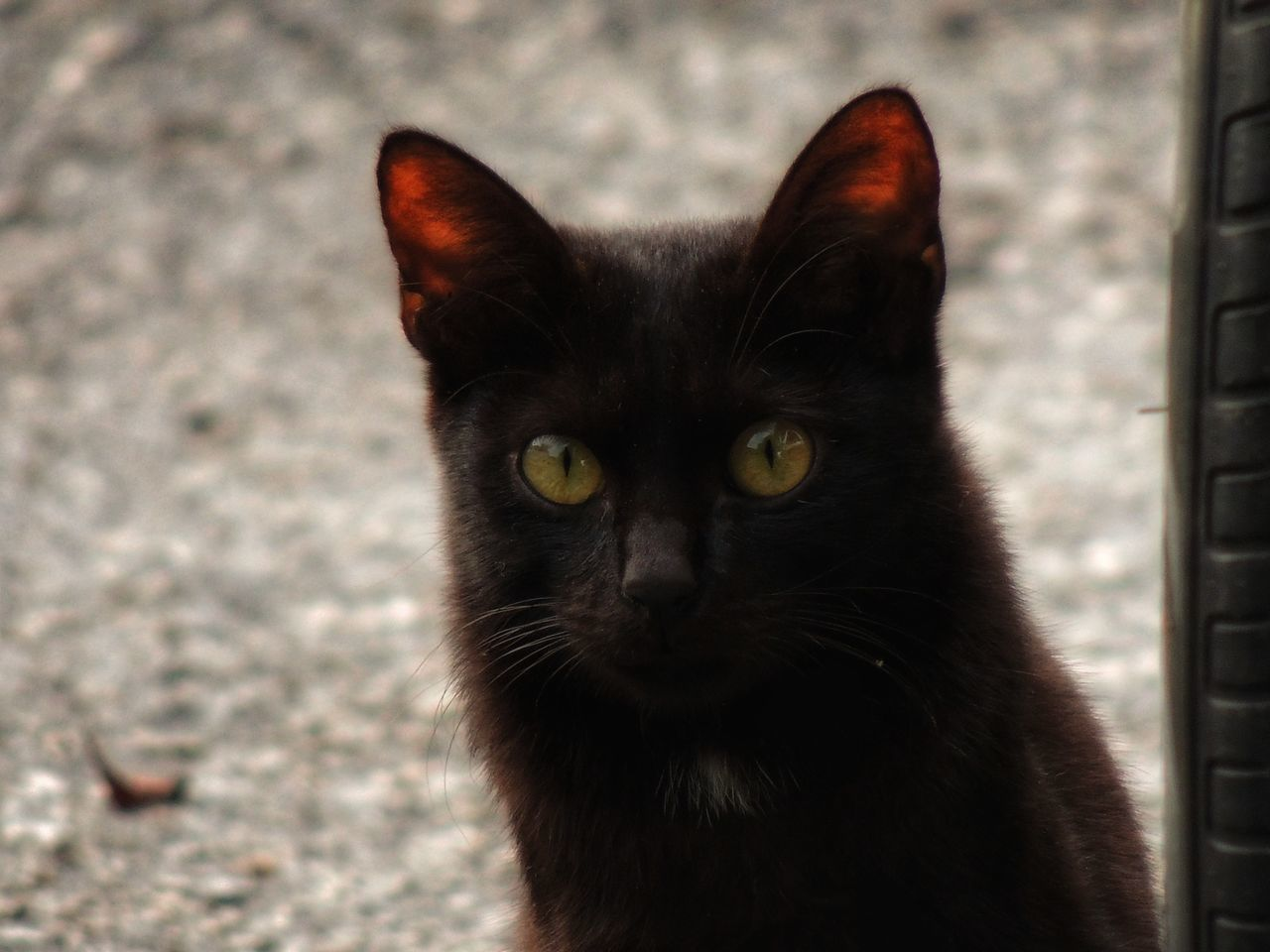 Pets Domestic Cat Domestic Animals One Animal Mammal Animal Themes Looking At Camera Feline Close-up Portrait Yellow Eyes No People Outdoors Day Blackcatlove BLackCat Welcome To Black