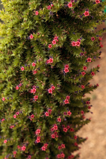 Tower of jewels flowers, Echium wildpretii, blooms in the Canary Islands Bloom Blooming Botanical Day Echium Wildpretii Flower Flowers Garden Growth Nature No People Outdoors Pink Flowers Plant Spring Tower Of Jewels Tower Of Jewels Flower