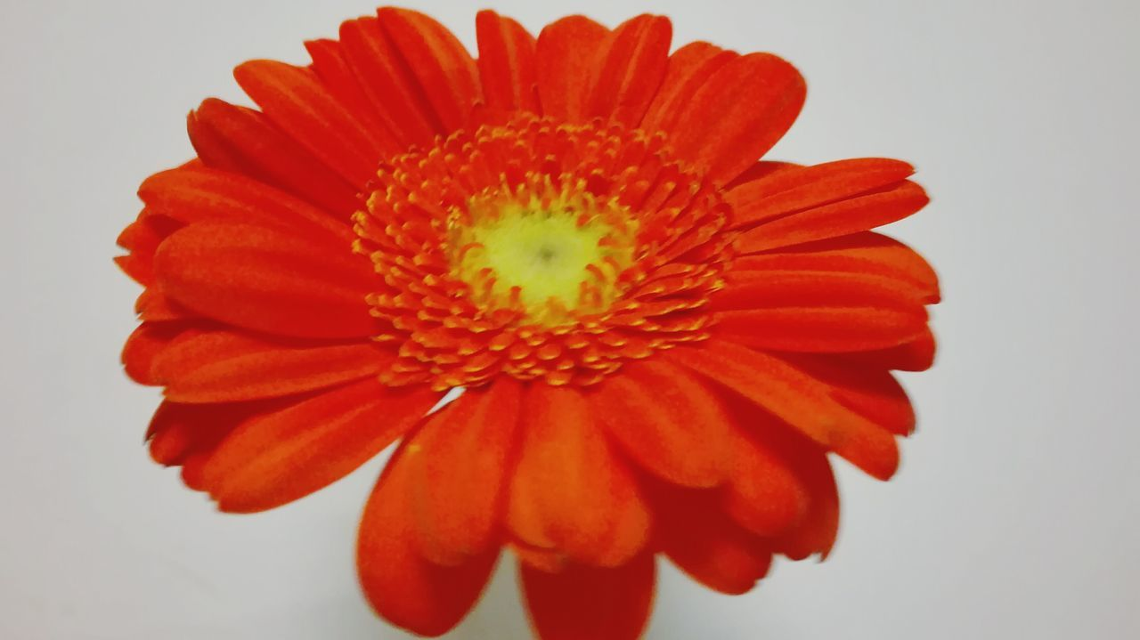 Flower Petal Red Beauty In Nature Flower Head Fragility Orange Color Nature Pollen Studio Shot Gerbera Daisy Freshness Concentric No People Stamen Close-up Huawei P8 Lite My Smartphone Life Fresh On The Market 2016 Fresh On The EyeEm White Backbround