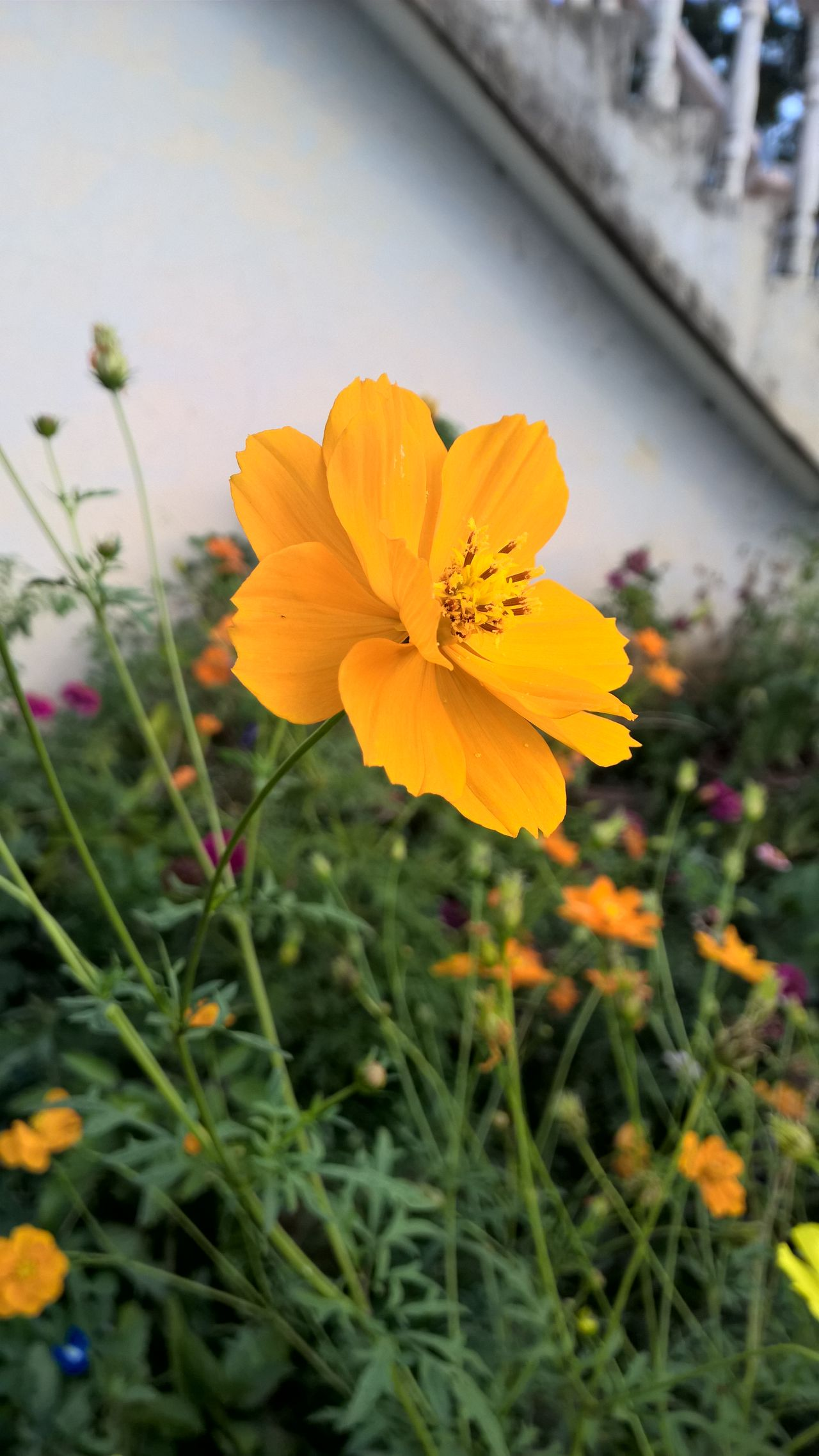 Beauty In Nature Blooming Close-up Cosmos Flower Day Flower Flower Head Fragility Freshness Growth Nature No People Outdoors Petal Plant Yellow