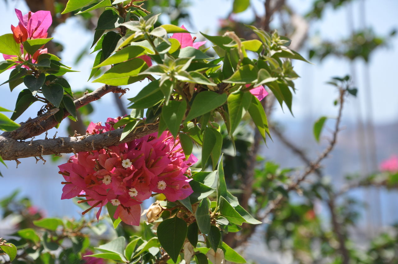 flower, growth, beauty in nature, nature, petal, fragility, freshness, day, focus on foreground, blooming, green color, flower head, outdoors, no people, leaf, plant, pink color, red, low angle view, close-up, tree