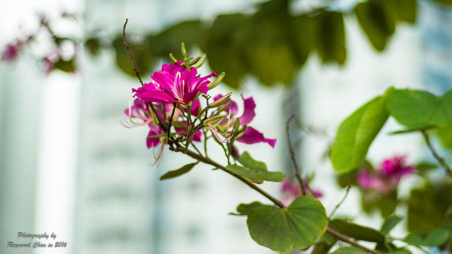 Bauhinia Blakeana Beauty In Nature Blooming Flower Hong Kong Orchid HongKong Nature Outdoors