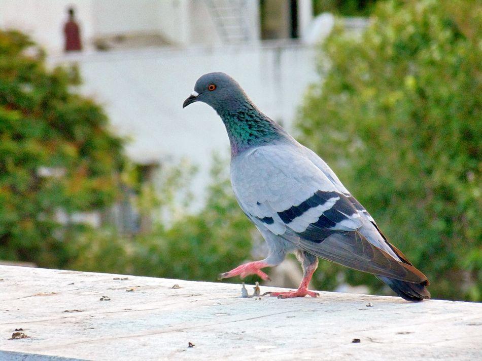 Beautiful stock photos of friedenstaube, Animal Themes, Animals In The Wild, Avian, Beak