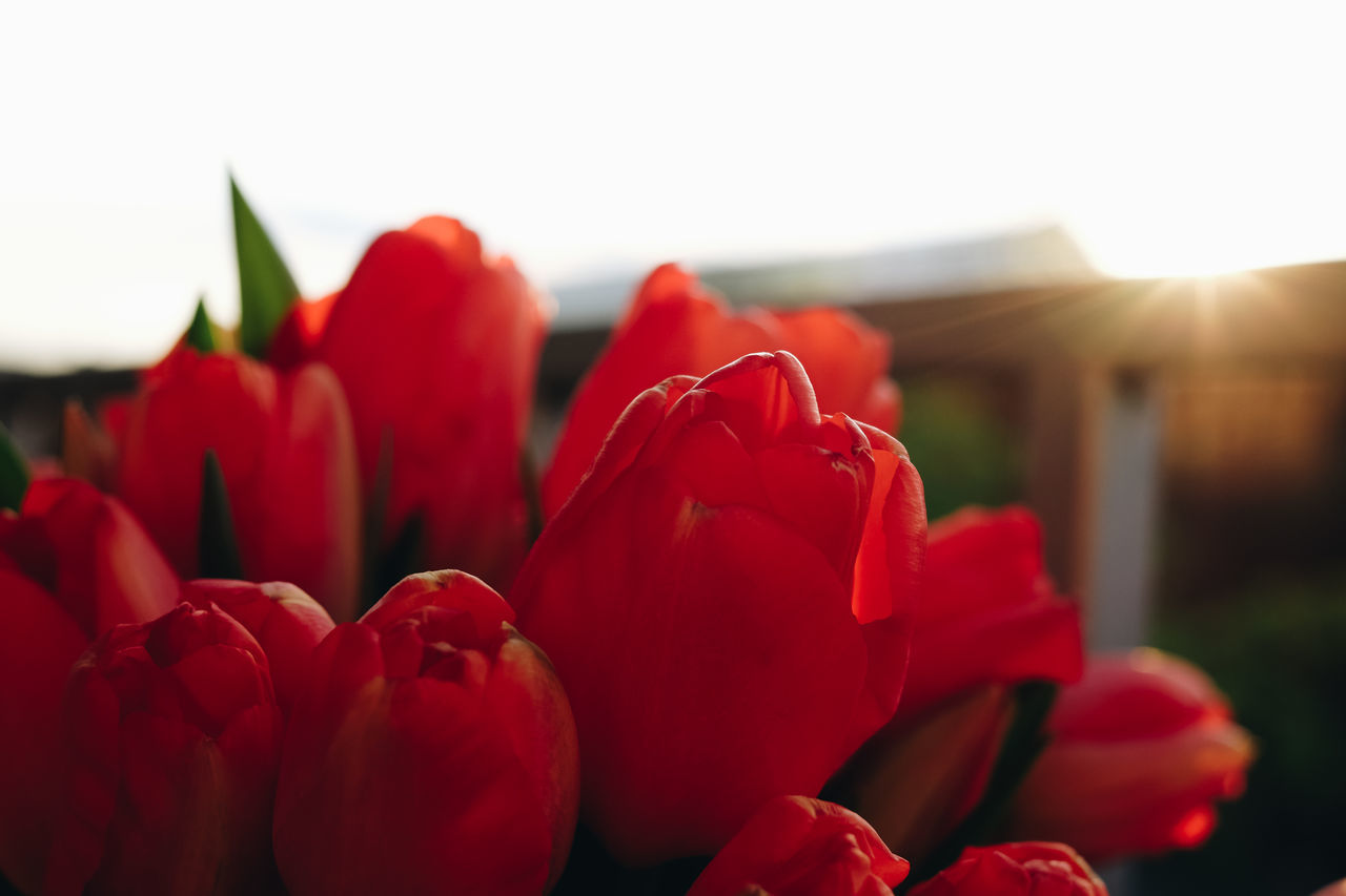 Beauty In Nature Blooming Close-up Day Flower Flower Head Focus On Foreground Fragility Freshness Growth Nature No People Outdoors Petal Red Rose - Flower Tulip