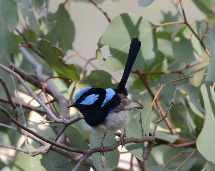 Blue Wren One Animal Animals In The Wild Animal Themes No People Perching Tree Day Close-up Bird