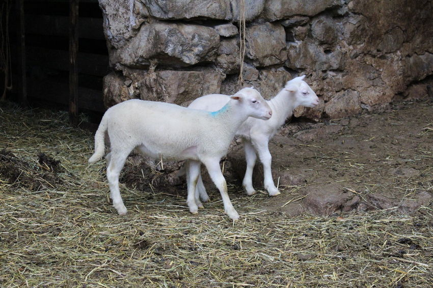 Animal Themes Domestic Animals Mammal No People Outdoors Livestock Day Nature Mouton Brebis Pets Agneaux Moutons Nature