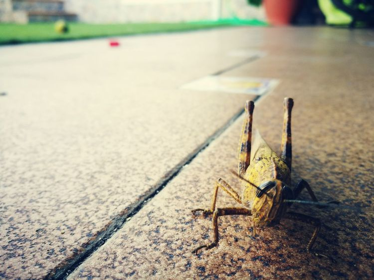 Focus On Foreground No People Outdoors Close-up Day Insect Insects  Animal Themes Animals Animal Nature 3XSPUnity Grasshopper Bug Small Animal EyeEmNewHere The Portraitist - 2017 EyeEm Awards BYOPaper! EyeEm Ready   Animals In The Wild One Animal Animal Wildlife