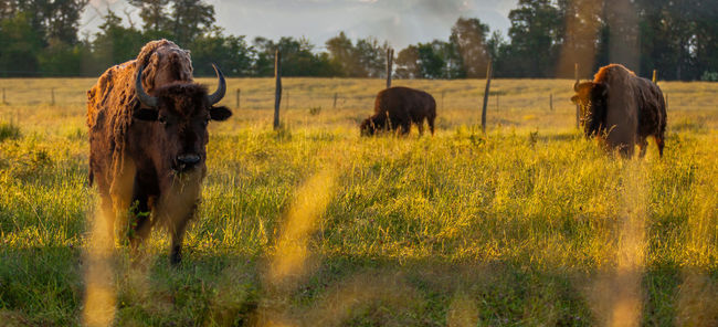 Domesticated bison in a grass field Animal Bison Domesticated Farm Field Fur Grass Herbivorous Livestock Mammal Meat Nature