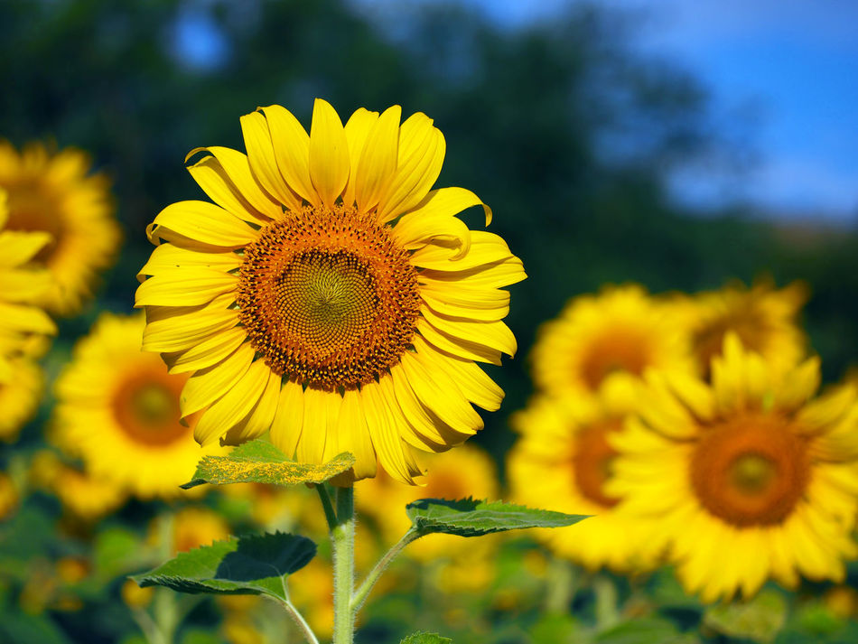 Beautiful stock photos of sunflower, Bangkok, Beauty In Nature, Close-Up, Day