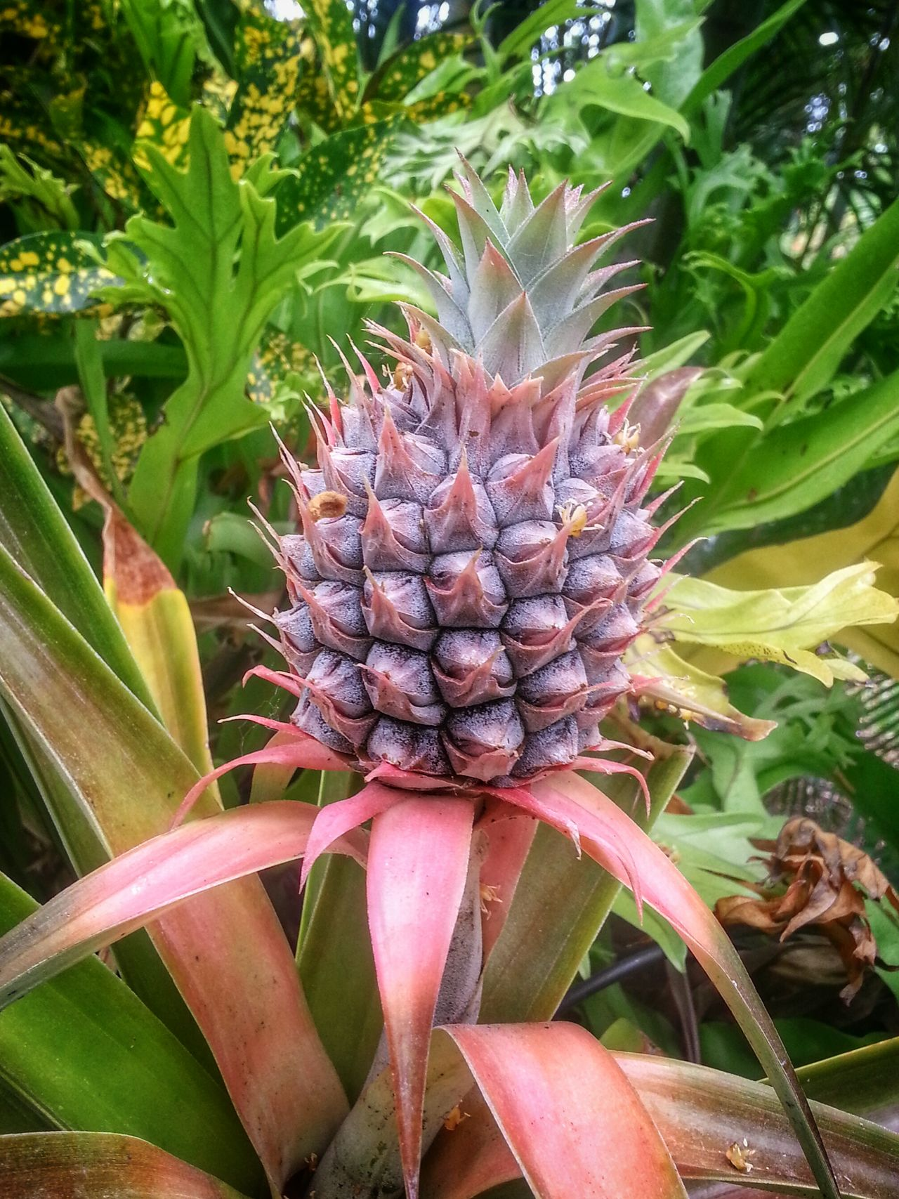 Nature_collection Nature Pineapple EyeEm Nature Lover