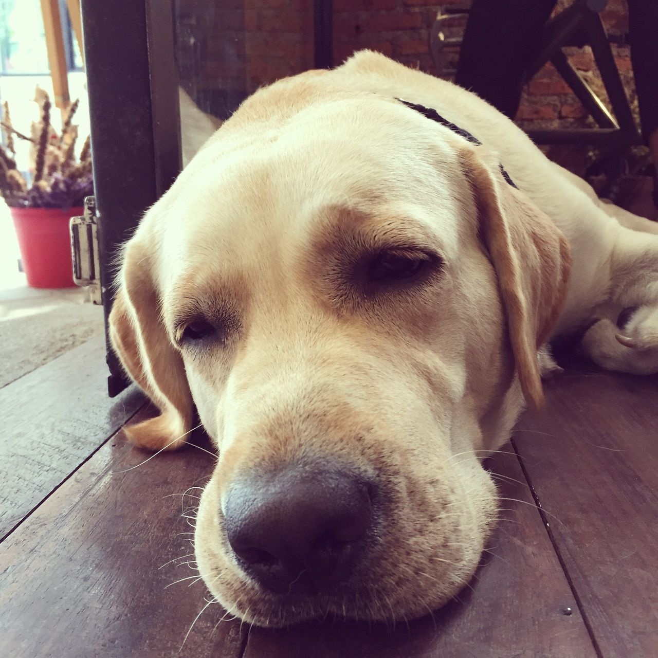 Afternoon naps Labrador Dogs Rest Sleepy Vip Receptionist Tired! Cute Pets